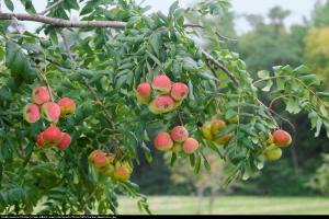 Jarząb domowy Sorbus domestica