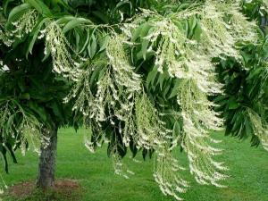 Kwaśnodrzew konwaliowy Oxydendrum arboreum