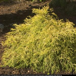 cyprysik groszkowy Golden Mop  p9 Chamaecyparis pisifera Golden Mop ...