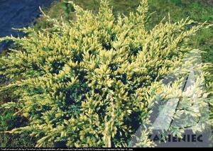 Jałowiec łuskowaty Holger  Juniperus squamata Holger