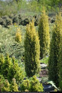 Jałowiec pospolity Gold Cone  Juniperus communis  Gold Cone