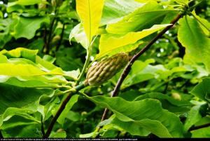 Magnolia parasolowata Magnolia tripetala