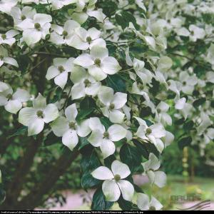 Dereń kousa odmiana chińska P9 Cornus kousa var. chinensis