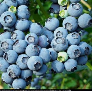 Borówka amerykańska Bluejay 3 letnia... Vaccinium corymbosum Bluejay