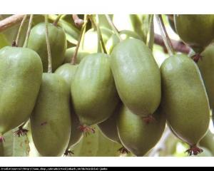 Mini Kiwi Aktinidia ostrolistna Jumbo ... Actinidia arguta  Jumbo