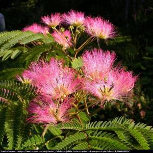 Albicja jedwabista Perska Mimoza - świeci... Albizia julibrissin