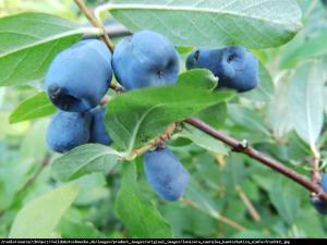 Jagoda kamczacka Czelabinka  Lonicera orientalis var.longifolia Czelabi...