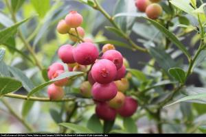 Borówka amerykańska Pink Lemonade 2 letn... Vaccinium corymbosum Pink Lemonade ...