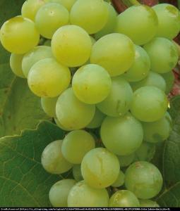 Winorośl Interlaken - Bezpestkowa Vitis Interlaken