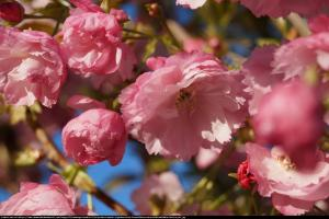 Wiśnia piłkowana Pink Perfection Prunus serrulata Pink Perfection