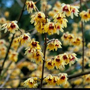 Zimokwiat wczesny Chimonanthus praecox