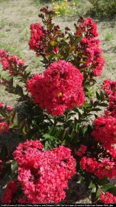 Lagerstremia indyjska 'Petite Red' - Bez P... Lagerstroemia  indica 'Petite Red'...