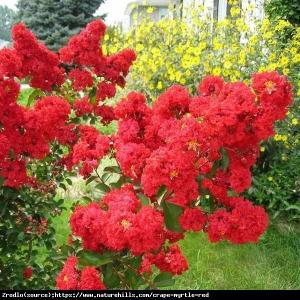 Lagerstremia indyjska Petite Red - Bez Po�... Lagerstroemia  indica Petite Red