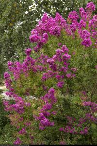 Lagerstremia indyjska Petite Orchid - Bez ... Lagerstroemia indica Petite Orchid...