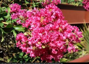 Lagerstremia indyjska Petite Pink - Bez Po... Lagerstroemia indica Petite Pink