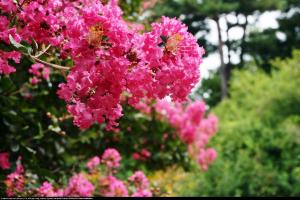 Lagerstremia indyjska Petite Pink - Bez Po... Lagerstroemia indica Petite Pink