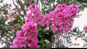 Lagerstremia indyjska Magnifica Rosea - Be... Lagerstroemia indica Magnifica Rosea...
