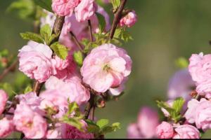 Wiśnia gruczołkowata Rosea Plena Prunus glandulosa Rosea Plena
