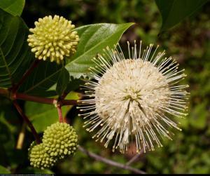 Guzikowiec zachodni Cephalanthus occidentalis