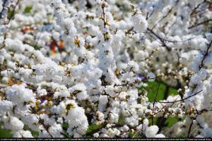 Wiśnia gruczołkowata Alba Plena Prunus glandulosa Alba Plena