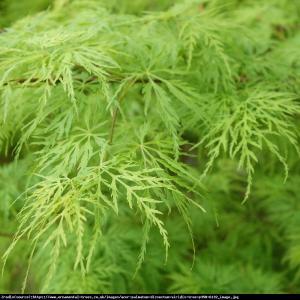 Klon palmowy Disectum Acer palmatum Disectum