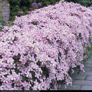 Powojnik górski odmiana różowa Clematis montana var.rubens
