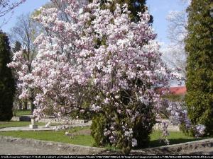 Magnolia pośrednia Soulangeana Magnolia soulangeana