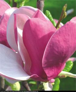 Magnolia Soulangea Lennei Magnolia Lennei