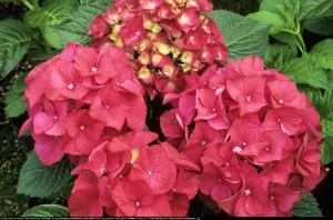 Hortensja ogrodowa Red Beauty  Hydrangea macrophylla Red Beauty ...