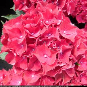 Hortensja ogrodowa Red Beauty Lila ... Hydrangea macrophylla Red Beauty Lila ...