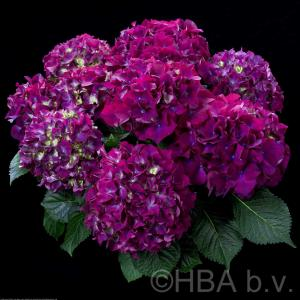 Hortensja ogrodowa Red Beauty Lila ... Hydrangea macrophylla Red Beauty Lila ...