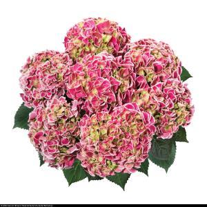 Hortensja ogrodowa Tivoli rosa  Hydrangea macrophylla Tivoli rosa ...