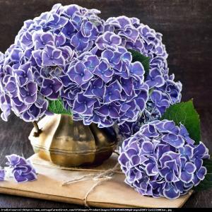 Hortensja ogrodowa Tivoli blau  Hydrangea macrophylla  Tivoli blau ...