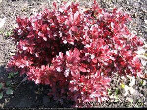 Berberys Atropurpurea Nana  Berberis thunbergii  Atropurpurea Nana ...
