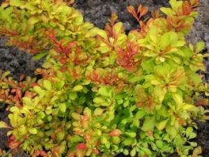 Berberys Diabolicum - Ognisty krzew... Berberis thunbergii  Diabolicum