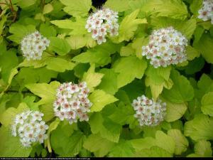 Pęcherznica kalinolistna Darts Gold ... Physocarpus opulifolius Darts Gold ...