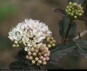Pęcherznica kalinolistna Summer Wine... Physocarpus opulifolius SUMMER WINE...