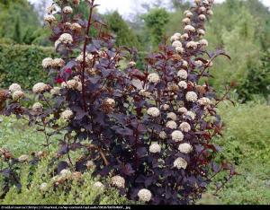 Pęcherznica kalinolistna Schuch  Physocarpus opulifolius  Schuch