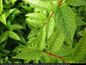 Forsycja zielona Kumson  Forsythia viridissima Kumson