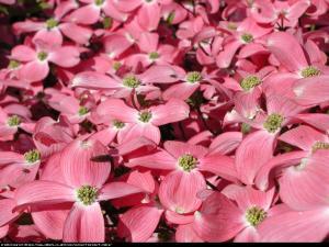 Dereń kwiecisty Cornus florida rubra