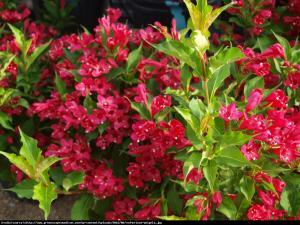 Krzewuszka cudowna Red Prince  Weigela florida  Red Prince
