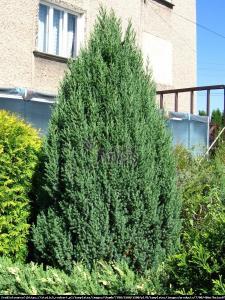 Jałowiec chiński  Stricta  Juniperus chinensis  Stricta
