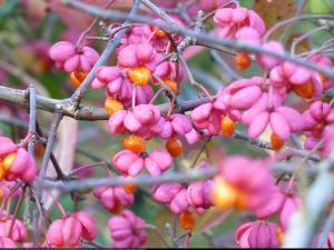Trzmielina europejska Red Cascade Euonymus europaeus  Red Cascade  ...