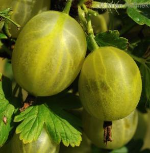 Agrest Invicta NA PNIU - NAJODPORNIEJSZY!!... Ribes uva-crispa Invicta