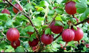 Agrest Kamieniar Ribes uva-crispa Kamieniar