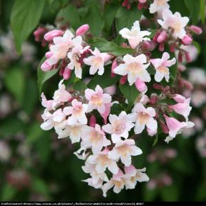 Kolkwicja chińska Pink Cloud   Kolkwitzia amabilis  Pink Cloud  ...