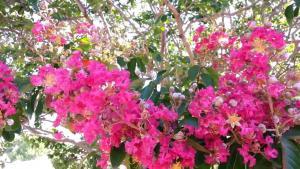Lagerstremia indyjska 'Purpurea' - Bez Po�... Lagerstroemia indica 'Purpurea'