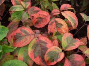 Dereń kwiecisty  Rainbow  Cornus florida  Rainbow