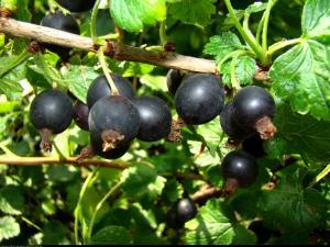 Porzeczkoagrest Josta pienny Ribes nidigrolaria Josta pienny