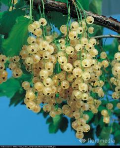 Porzeczka biała Weise Versailes pienna... Ribes niveum Weise Versailes pienna...